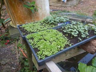 0330育苗野菜.JPG