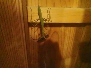 ゴキブリを食べるカマキリ.JPG