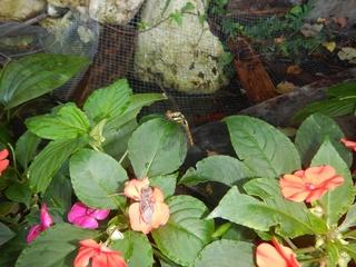シオカラトンボ(オス)の羽化と池の金魚_R.jpg