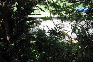 ジョロウグモとセミ.jpg