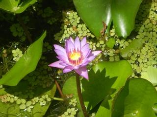 スイレンの花.JPG