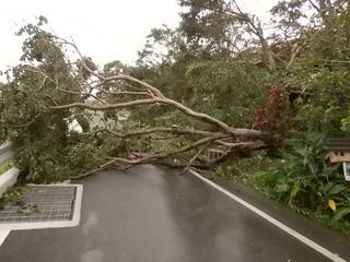 台風24号で倒れたアカギH30.9.29.JPG