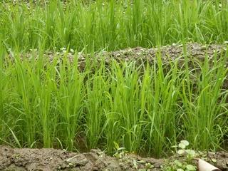 棚田の稲.JPG
