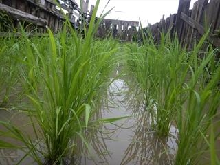牧場の稲.JPG