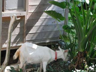 草を食べるヤギ.JPG